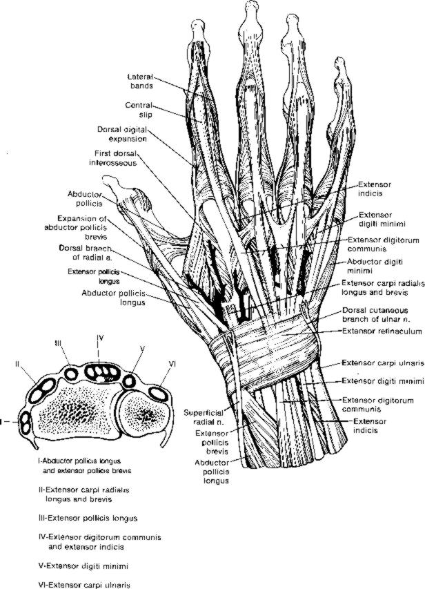 Hand anatomy extensor tendons 5390457 - follow4more.info